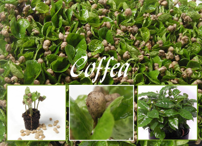 Coffea seeds