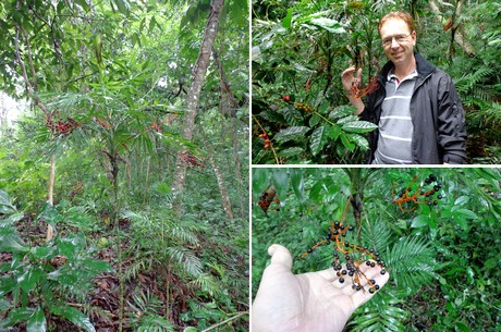 Searching for Chamaedorea in Mexican forests