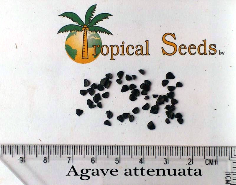 Agave attenuata Seeds
