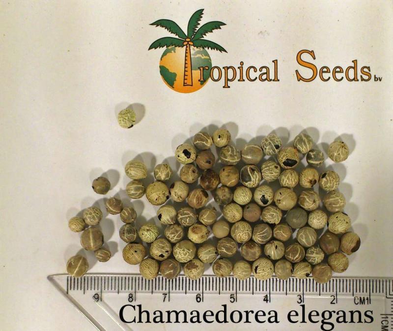 Chamaedorea elegans seeds