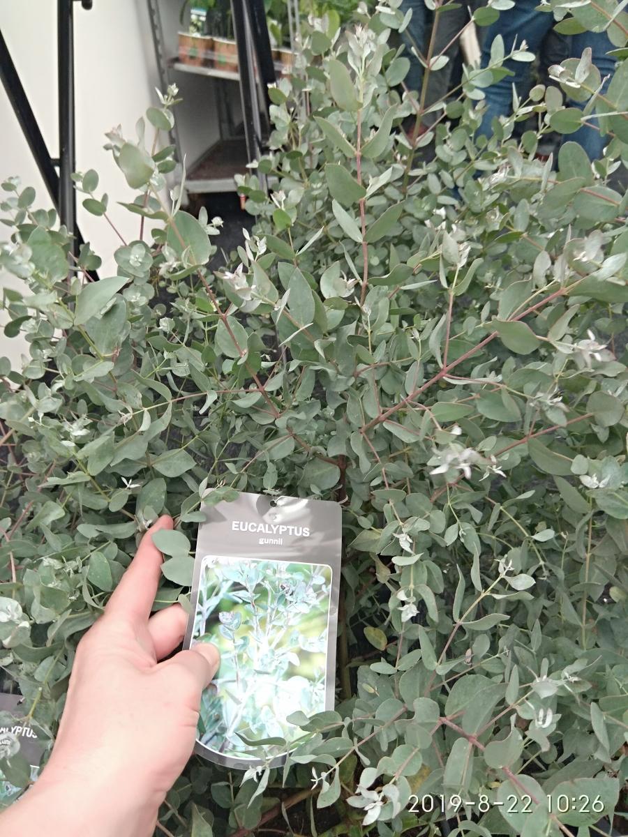 50 seeds pack Cider Gum Eucalyptus Seeds Myrtaceae Eucalyptus Gunnii Ornament